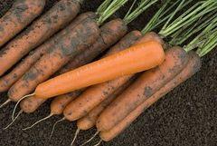 Экстремо F1 семена моркови, (Vilmorin / Вильморин)