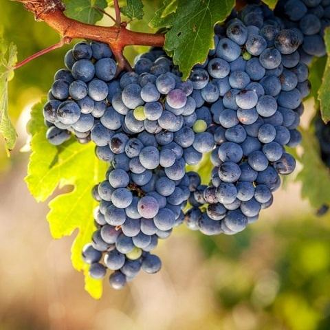 Виноград сорт Мариновский (неукрывной)