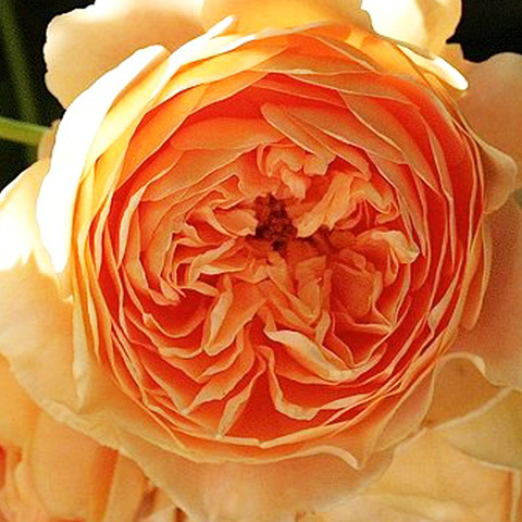 Роза парковая Кроун Принцесса Маргарет