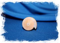 Коллекционная морская ракушка Конус кинтоки, Conus kintoki
