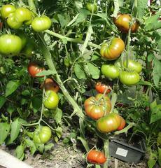 Семена томата Ребелион F1, Vilmorin, 5 шт.