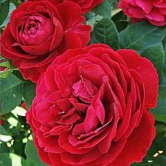 Роза парковая Эл Ди Брейтуэйт