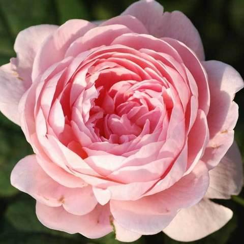 Роза английская Квин оф Шведен