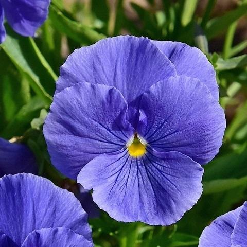 Виола синяя