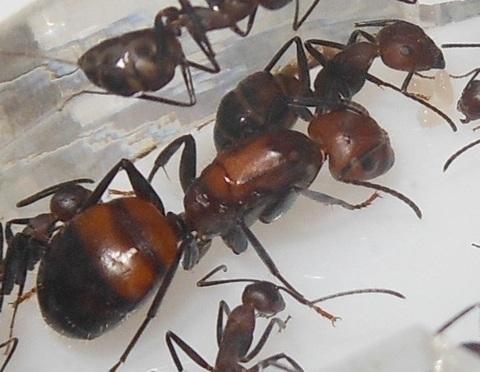 Camponotus nicobarensis,  1-5 раб