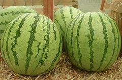 Регус F1 семена арбуза, (Sakata / Саката)