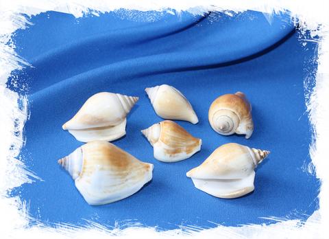 Морские ракушки Стромбус Канариум