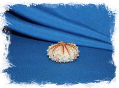 Панцирь морского ежа Coelopleurus maculatus, Коелоплеурус макулатус
