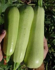 Марзука F1 семена кабачка, (Seminis / Семинис)