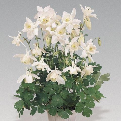 Аквилегия вееровидная Spring Magic White