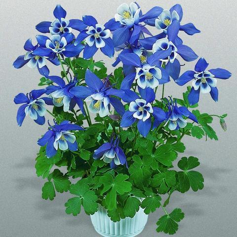 Аквилегия вееровидная Spring Magic Blue And White