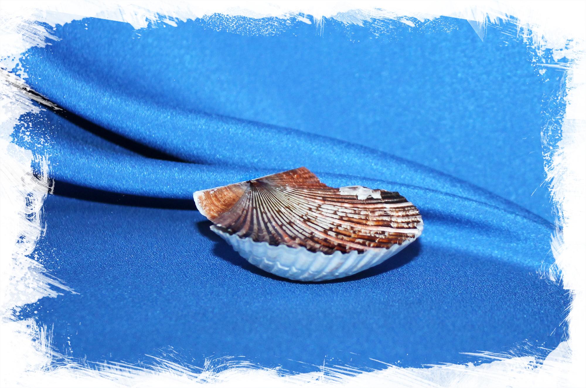 Морской гребешок Пуксидатус, Minnivola pyxidata