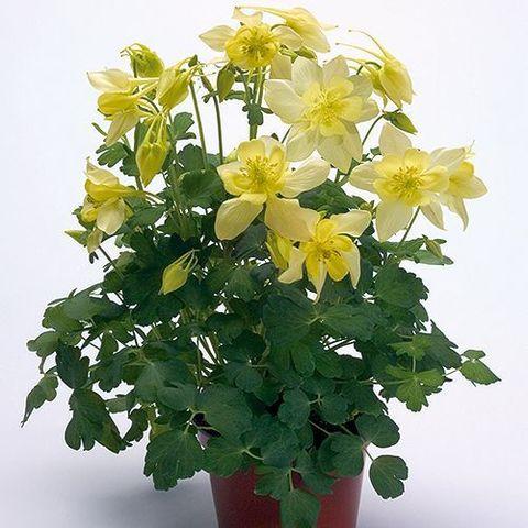 Аквилегия вееровидная Spring Magic Yellow