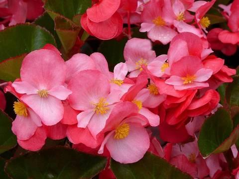 Семена Бегония вечноцветущая бронзоволистная Гавана Пинк, 10 драже