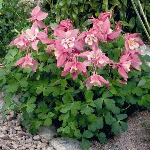 Аквилегия вееровидная Spring Magic Rose And White