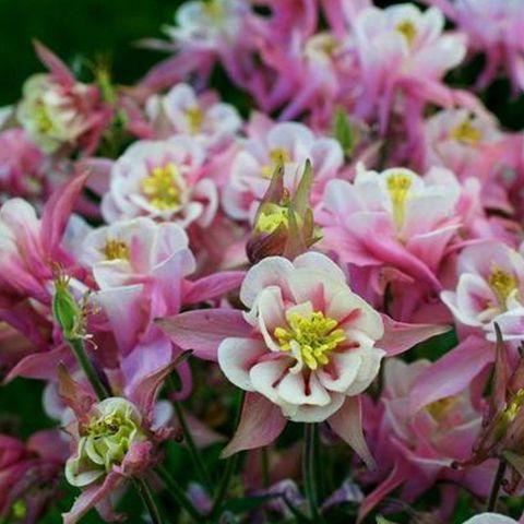 Аквилегия обыкновенная Winky Double Rose and White
