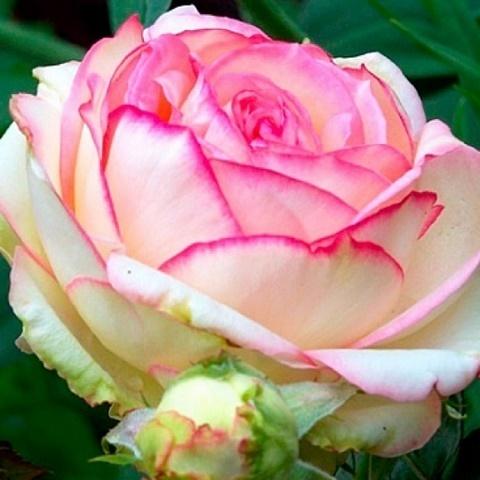 Роза миниатюрная Бидермейер, Тантау