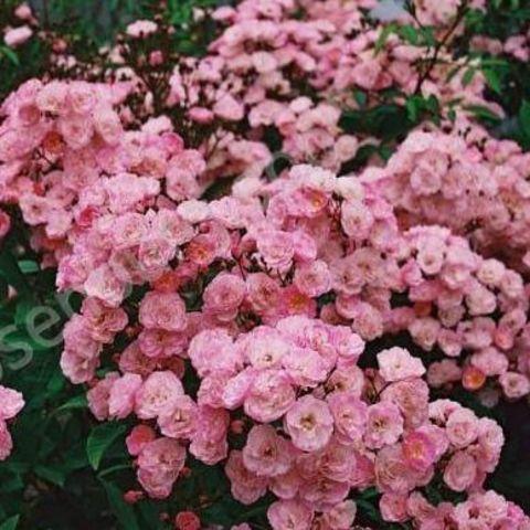 Хэвенли Пинк  Heavenly Pink