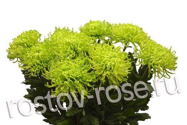 Зеленые игольчатые хризантемы