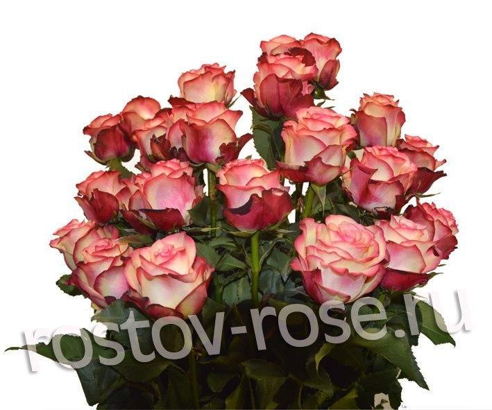Букет 15 бело-красных роз (Зквадор)