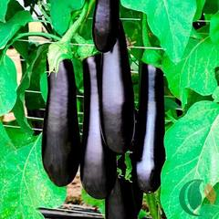 Семена баклажана Каратая F1, Vilmorin, 10 шт.