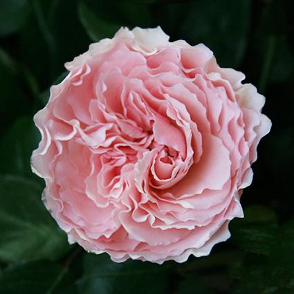 Купить букет розовых пионовидных роз Майра в Перми