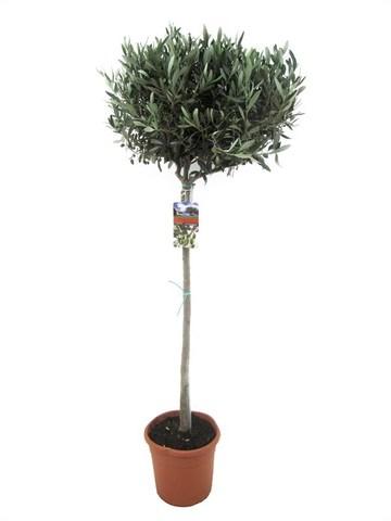 Маслина (Оливковое дерево)