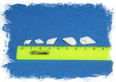 Нассариус белый размер