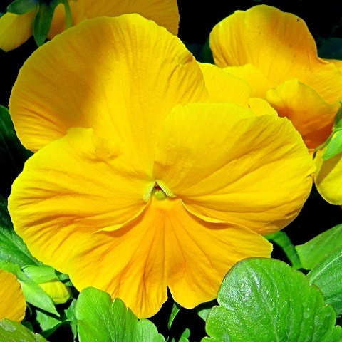 Виола желтая