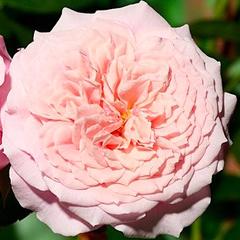 Роза парковая Вильям Кристин