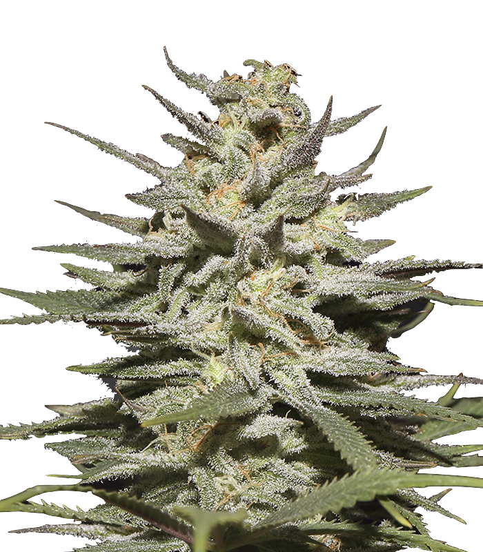 Super Lemon Haze (Feminised) (GHS)