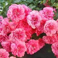 Роза почвопокровная Книрпс купить