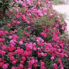 Роза почвопокровная Книрпс Knirps