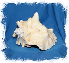 Гигантская ракушка стромбуса