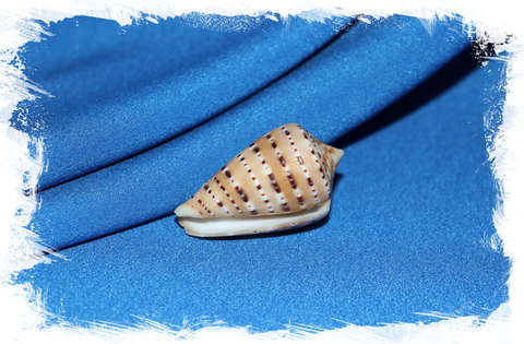 Конус генуатус (Conus genuanus) 4 см.