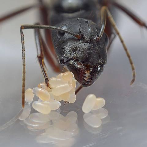 Camponotus compressus + формикарий Crystal XL 3.0