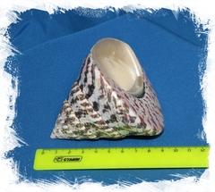 Нильский трохус 6 - 8 см