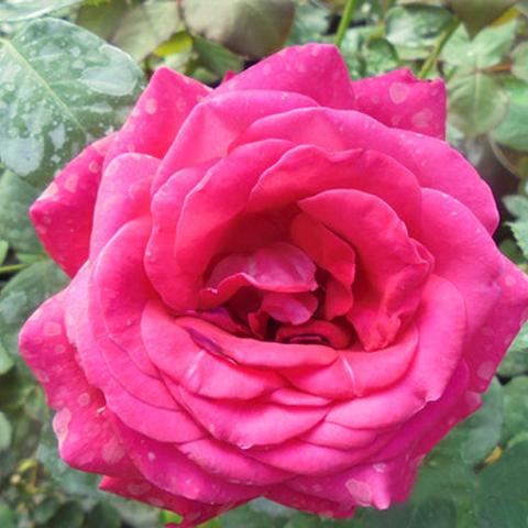Роза чайно-гибридная Виен Роуз