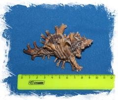 Мурекс пальмароза размер