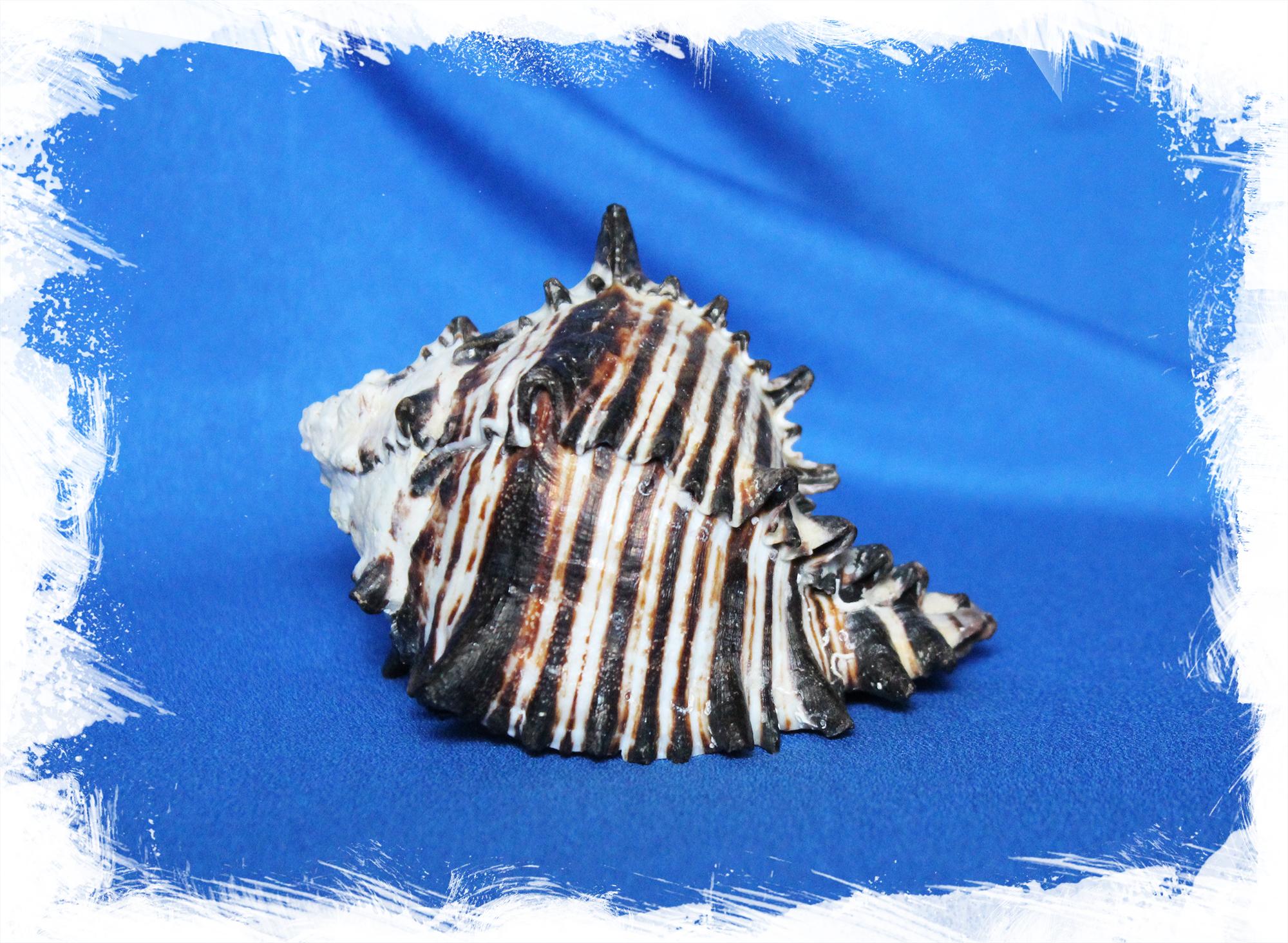Морская раковина Черный мурекс
