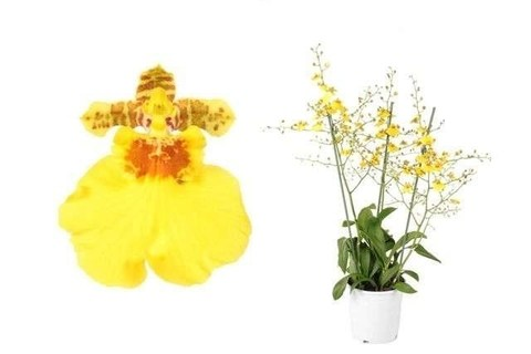 Онцидиум (Орхидея)