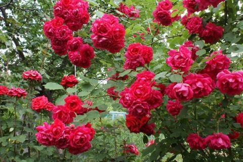Роза плетистая Паул'з Скарлет Климбер (в тубе)