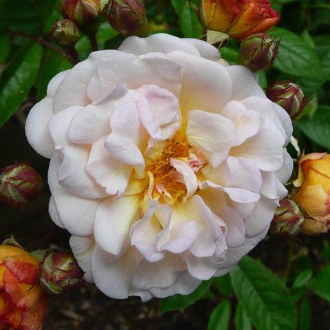 Роза плетистая Гислен Де Фелигонд