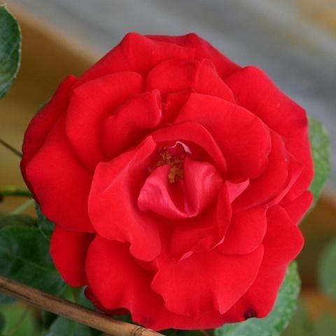 Роза плетистая Сантана, Тантау