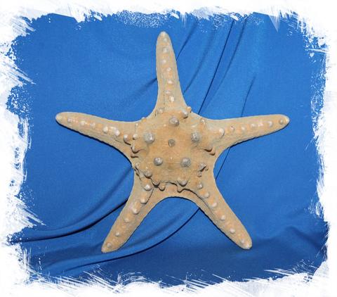 Филиппинская морская звезда 23-26 см.