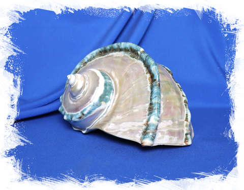 Турбо марморатус полированный по спирали 18-20 см.