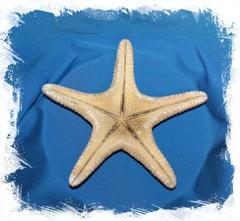 Морская звезда Астеродискус 20-25 см