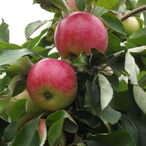 Яблоня летний сорт Мельба