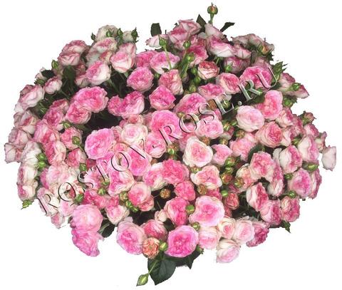 Кустовая пионовидная роза сорта Пинк охара