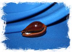 Ципрея адуста (Erronea adusta)